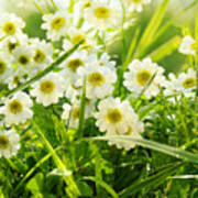 Closeup Of Daisies In Field Poster