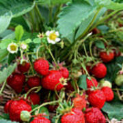 Closeup Of Fresh Organic Strawberries Growing On The Vine Poster