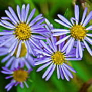 Closeup Of Leafy Bract Asters On Iron Creek Trail In Sawtooth National Wilderness Area-idaho  Poster