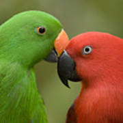 Closeup Of Male And Female Eclectus Poster