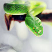 Closeup Of Poisonous Green Snake With Yellow Eyes - Vogels Pit Viper  Poster