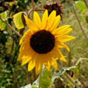 Closeup Of Sunflower In Farm Poster