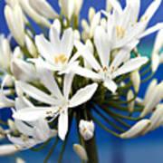 Closeup White Californian Flower Poster