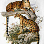 Clouded Leopard, 1883 Poster