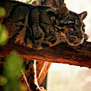 Clouded Leopard II Poster