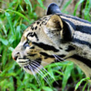 Clouded Leopard In The Grass Poster