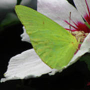 Cloudless Giant Sulphur Butterfly  Poster