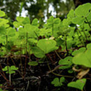 Clover In Montgomery Woods State Natural Reserve Poster