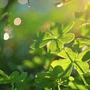 Clover Leaf In Garden, Macro Poster