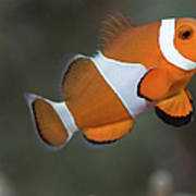 Clown Anemonefish (amphiprion Ocellaris) Poster by Steven Trainoff Ph.D.