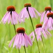 Cluster Of Cone Flowers Poster