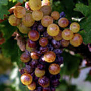 Cluster Of Ripe Grapes Poster