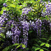 Clusters Of Wisteria Poster