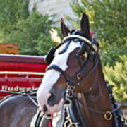 Clydesdale At Esp Poster