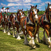 Budweiser Clydesdale Horses Poster