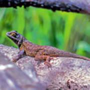 Coast Range Fence Lizard Poster