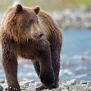 Coastal Brown Bear Poster
