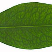 Coca Leaf, Erythroxylon Coca Poster