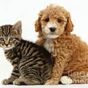 Cockapoo Puppy And Tabby Kitten Poster