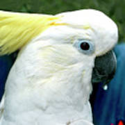 Cockatoo Bird Poster