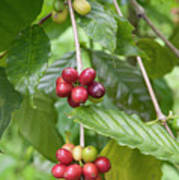 Coffea Coffee Growing In The Balinese Countryside. Poster
