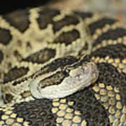 Coiled Rattlesnake Poster