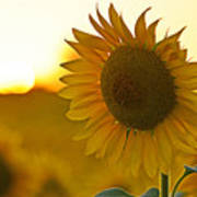 Colby Farms Sunflower Field Newbury Ma Closeup Sunset Poster