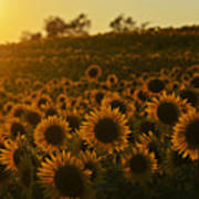 Colby Farms Sunflower Field Newbury Ma Sunset Poster
