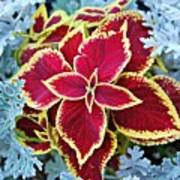 Coleus And Dusty Miller Poster