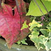 Coleus And Ivy Poster