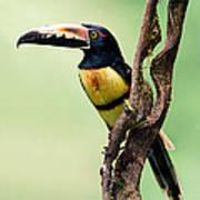 Collared Aracari Pteroglossus Poster