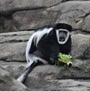 Colobus Monkey Poster