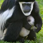 Colobus Monkey With Baby Poster