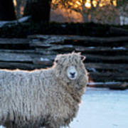 Colonial Sheep In Winter Poster