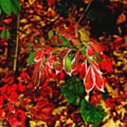 Autumn Foliage  Poster
