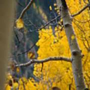 Colorado Aspen In Fall Poster