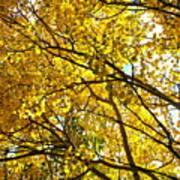 Colorado Aspens In Fall Poster