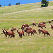 Colorado Elk Herd Poster