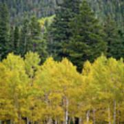 Colorado Golden Aspens Poster