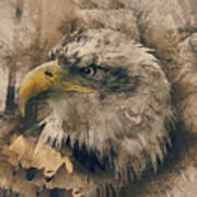 Colored Etching Of American Bald Eagle Poster