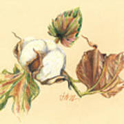 Colored Pencil Cotton Plant Poster