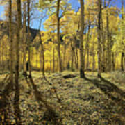 Colorful Aspens Poster