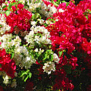 Colorful Bougainvilleas Poster