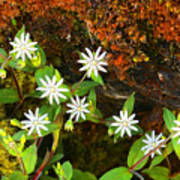 Colorful Chickweed Poster