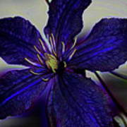 Colorful Clematis Poster