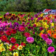 Colorful Dahlias In Garden Poster