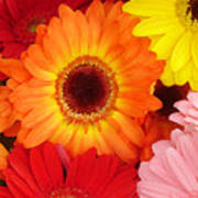 Colorful Gerber Daisies Poster