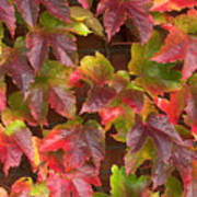Colorful Ivy Wall In Autumn Ireland Poster