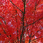 Colorful Red Orange Fall Tree Leaves Art Prints Autumn Poster