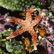 Colorful Seastar Laying On Cean Reef Poster by James Forte